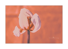 A tulip past its best still holds beauty ... (Jackie ...) Tags: tulip topaz