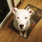 Doggo #Carla #dogsofinstagram #pitbullsofinstagram #pitbullmix #pittie thumbnail