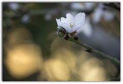 _MG_7577 (maría victoria vicente) Tags: naturaleza naturalphotography natura flor flora almendro macro