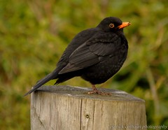 Blackbird (patrickcolhoun) Tags: blackbird nature wildlife animal birdwatch donegal ireland buncrana countydonegal ulster