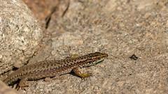 Hagedis Spanje (DodaarsJan) Tags: gredos sierra hagedis mier ant prey prooi presa lagarto hormiga nature spanje spain españa