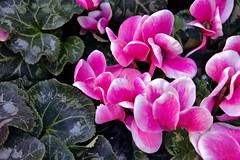 Pink (Rich Renomeron) Tags: fujifilmxt20 fujinonxc1650mmf3556oisii australia cyclamen fitzroygardens flowers melbourne plants