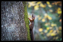 Red Squirrel (One Eye Coombs) Tags: red squirrel lakedistrict