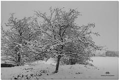 NOVEMBER 2018 NGM_9584_6219-1-222 (Nick and Karen Munroe) Tags: wintry winter fog foggy winterfog winterwonderland mist misty snow snowfall snowstorm snowy firstsnow fall karenick23 karenick karenandnickmunroe karenandnick munroe karenmunroe karen nickandkaren nickandkarenmunroe nick nickmunroe munroenick munroedesigns photography munroephotoghrpahy munroedesignsphotography nature landscape brampton bramptonontario ontario ontariocanada outdoors canada d750 nikond750 nikon nikon2470f28 2470 2470f28 nikon2470 nikonf28 f28 blackandwhite bw blackwhite bandw monochrome mono
