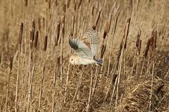 0M2A3772 Barn Owl (kevin_livesey) Tags: tyto alba barn owl wwt martin mere wetlands nature wildlife bird birdwatching