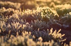 frost (fotografia.KarolinaKwiatkowska) Tags: frost frozen nature natura naturelovers natur mazury masuria mazurycudnatury mazurymojamilosc masuren mazurskaprzyroda