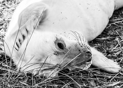Newborn Grey Seal Pup (littlestschnauzer) Tags: grey seal pup baby donna nook uk 2018 wildlife nature lincolnshire animal fluffy cute adorable young youngster