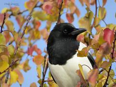 Magpie (Pica pica). (Vitaly Giragosov) Tags: commonmagpie picapica sevastopol songbird crimea rf севастополь крым сорока певчие