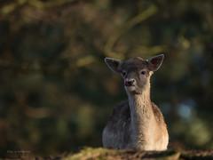 Damwild..... (wernerlohmanns) Tags: natur outdoor nikond750 sigma150600c schärfentiefe pflanzenfresser damwild damhirsche hirsche deutschland wildpark wildparklüneburgerheide