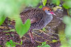 Slaty-Breasted Rail (Gallirallus striatus) (minalpatel_forestry) Tags: slaty breasted rail gallirallus striatus wildlife fauna india gujarat navsari wetland monsoon