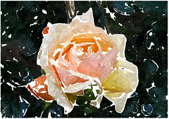 Man spürt an allen Orten (amras_de) Tags: rose rosen ruža rosa ruže rozo roos arrosa ruusut rós rózsa rože rozes rozen roser róza trandafir vrtnica rossläktet gül blüte blume flor cvijet kvet blomst flower floro õis lore kukka fleur bláth virág blóm fiore flos žiedas zieds bloem blome kwiat floare ciuri flouer cvet blomma çiçek zeichnung dibuix kresba tegning drawing desegnajo dibujo piirustus dessin crtež rajz teikning disegno adumbratio zimejums tekening tegnekunst rysunek desenho desen risba teckning çizim