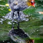 Narcissus thumbnail