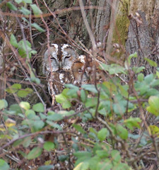 Tawny Owls (KHR Images) Tags: tawnyowl tawny owl owls pair wild bird birdofprey perched hollow tree fendraytonlakes rspb cambridgeshire eastanglia wildlife nature nikon d500 kevinrobson khrimages