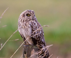 Short-eared Owl (Lutra77) Tags: shortearedowl britishbirds birds nature wildlife asioflammeus