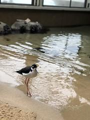 Black-necked stilt (sarahstierch) Tags: birds aviary rescue animal montereycounty monterey bay aquarium sanctuary bird birding shorebirds blacknecked stilt