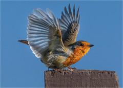 Take off (julie cavell) Tags: robin bird wildlife nature flight action birdinflight norfolk british ngc