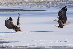 PREPARE FOR ATTACK! (Explored!) (Wade.J.) Tags: american bald eagle flight fight conflict dinner talons lake winter snow nikon sheffield