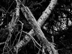 Ein weißes X im Wald (Helmut Reichelt) Tags: bw sw x windbruch wald frühling märz schwaigwall oberbayern bavaria deutschland germany panasonic lumix fz200 captureone12 silverefexpro2