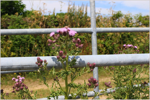 The Gate and Thistle