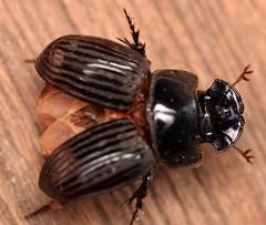 12.5 mm small black dung beetle (ophis) Tags: coleoptera polyphaga scarabaeoidea scarabaeidae scarabaeinae coprini copris coprisminutus smallblackdungbeetle
