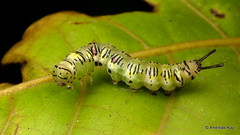 Caterpillar (Ecuador Megadiverso) Tags: amazon andreaskay caterpillar ecuador rainforest tropic