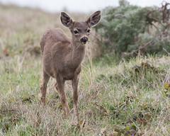 Black-tailed Deer 8934 (maguire33@verizon.net) Tags: pointreyesnationalseashore blacktaileddeer deer muledeer wildlife inverness california unitedstates us