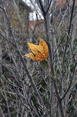 LONE LEAF (KayLov) Tags: swannanoa scenery asheville grove park inn leaves foliage