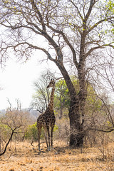Giraffe at Kruger Park