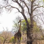 Giraffe at Kruger Park thumbnail