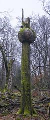 Telespargel im Soonwald (doerrebachtaler) Tags: katzenkopf soonwald naturreservat buche buchenwald baumpilz nebel hunsrück seibersbach schanzerkopf hochsteinchen