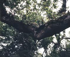 Branch, Courtmacsherry (nikolaijan) Tags: mamiya rb67 120 c90mmf38 fuji film treeportrait ireland forest fern provia400f courtmacsherry green tree branch
