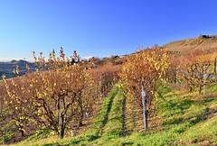 Vicinity of Guarane (Waldek P.) Tags: italy langhe piemonte włochy piemont wino wine vineyard winnica nebiolo muscat vite grapes grapevine
