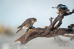 Merlin (johnbacaring) Tags: raptor merlin wildlife nature birdsofprey canon natgeo birding birds falcon canonphotography beach life salt sea ocean beachlife