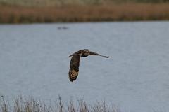 IMG_0003 (monika.carrie) Tags: monikacarrie wildlife seo shortearedowl forvie scotland owl