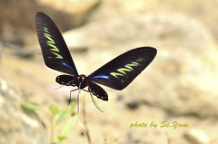 Dancing_AGL7410 (SC.Yam On/off) Tags: maccro butterfly dancing