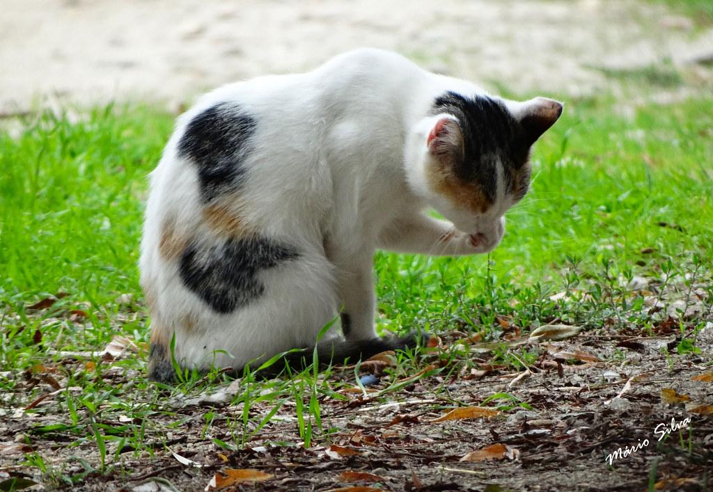 Águas Frias (Chaves) - ... gato lavando a cara ... sinal de chuva ...