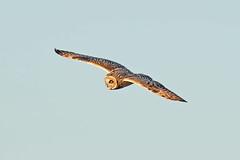 Short Eared Owl (drbut) Tags: shortearedowl asioflammeus birdofprey grassland trees hedges countryside voles wildlife nature canonef600f4lisusm