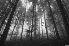 Forêt de Myon dans la Brume (francky25) Tags: forêt de myon dans la brume noir et blanc franchecomté doubs ambiance automne