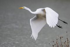 Domaine des oiseaux (Ariège) (PierreG_09) Tags: eu domainedesoiseaux mazères ariège ddo occitanie midipyrénées faune oiseau grandeaigrette ardeaalba westerngreategret pélécaniformes ardéidés