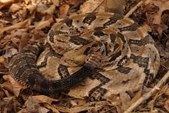 Canebrake (Crotalus horridus) (Ian Deery) Tags: canebrake cane snake rattlesnake crotalus horridus reptile venomous herp herping ian deery sony