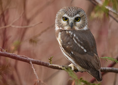 Northern Saw-Whet Owl (aj4095) Tags: northern saw whet owl nature wildlife outdoor tree bird nikon ontario canada
