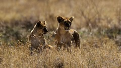 DSC_3400-2 (miwin) Tags: lioncubs lion animal wild serengeti tanzania