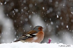 Fringuello nella bufera.. (silvano fabris) Tags: birdwatching wildlife nature photonature uccelli birds animals