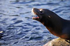 Kalifornischer Seelöwe (Michael Döring) Tags: gelsenkirchen bismarck zoomerlebniswelt zoo kalifornischerseelöwe seal afs70200mm28g d800 michaeldöring