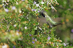Hanging out at the Flower Bar (littlebiddle) Tags: gilbertarizina riparian birds aves bird feather nature wildlife