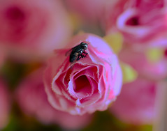 Entrenando en macro-makro.- (angelalonso57) Tags: canon eos 6d tamron sp 90mm f28 di vc usd macro11 f004 ƒ28 900 mm 150 400 bockeh insecto macromonday rosa