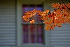 sapporo 658 (kaifudo) Tags: sapporo hokkaido japan botanicalgarden autumn autumncolors 秋 札幌 札幌市 北海道 北大植物園 nikon d5 nikkor afs 70200mmf28gedvrii 70200mm kaifudo