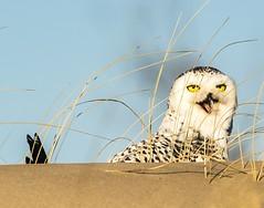 Hide-N-Seek Game . . . (Dr. Farnsworth) Tags: owl duck snowyowl sand dune breakfast yellow eyes open mouth muskegon mi michigan winter january2019
