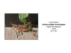 "Eastern Lupper Grasshopper • <a style=""font-size:0.8em;"" href=""https://www.flickr.com/photos/124378531@N04/45734222785/"" target=""_blank"">View on Flickr</a>"