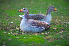 -Upset and we do not talk to each other (Fnikos) Tags: park parc parque parco grass nature bird goose outdoor